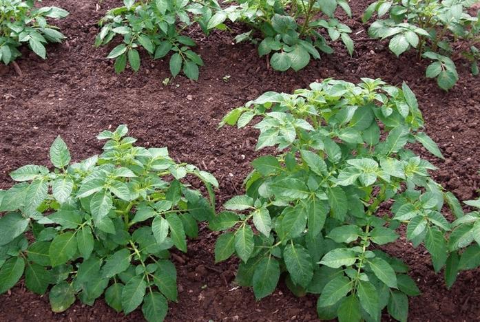 kartofel gryadka